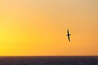 Black-browed albatross soars over the Scotia sea.