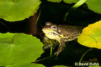 0612-0905  Northern Green Frog in Pond, Lithobates clamitans, formerly Rana clamitans  © David Kuhn/Dwight Kuhn Photography