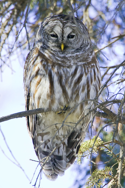 Barred owl perched in a pine tree