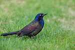 Common grackle in a northern Wisconsin backyard.