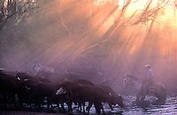 Cattle muster at sunset near Tennant Creek Northern Territory Australia