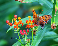 Eastern comma on butterfly weed in September