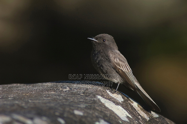 Black Phoebe, Sayornis nigricans, adult perched on rock in mountain stream, Bosque de Paz, Central Valley, Costa Rica, Central America, December 2006