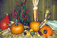 Pumpkin varieties from large to small, heirloom and unusual, with ornamental Indian corn, peppers, in autumn harvest display