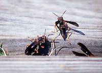 INSECTS<br /> Wasp<br /> Bodie Island, NC