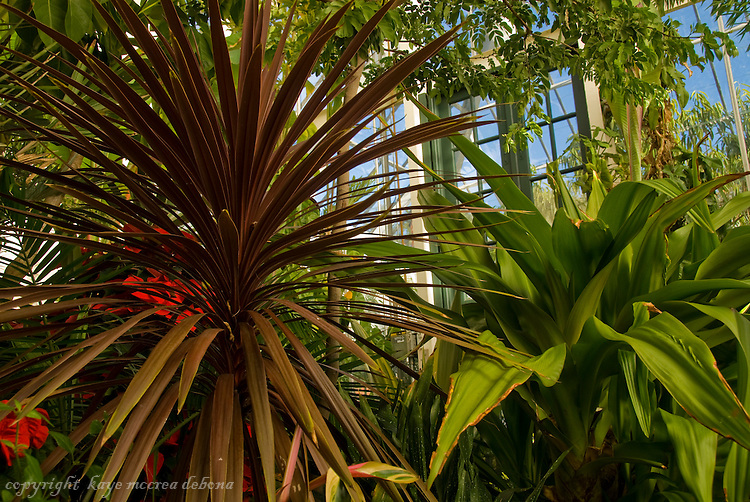 Cabbage Palm, Cordyline Australis Atropurpurea, and Queen Emma, Spider Lily,Crinum Amabile