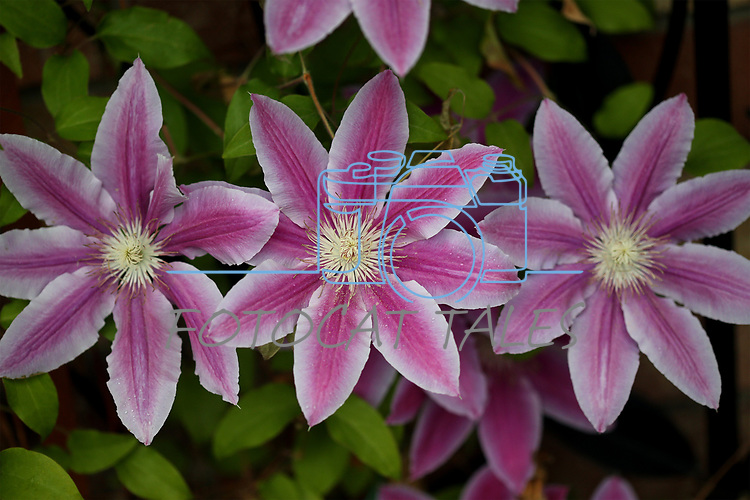Clematis flowers bloom outside the Browsers Corner Bookstore, in Carson City, Nev., on Monday, May 21, 2018. Photo by Cathleen Allison/Nevada Momentum