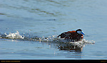 Ruddy Duck, Male Display, Sepulveda Wildlife Refuge, Southern California