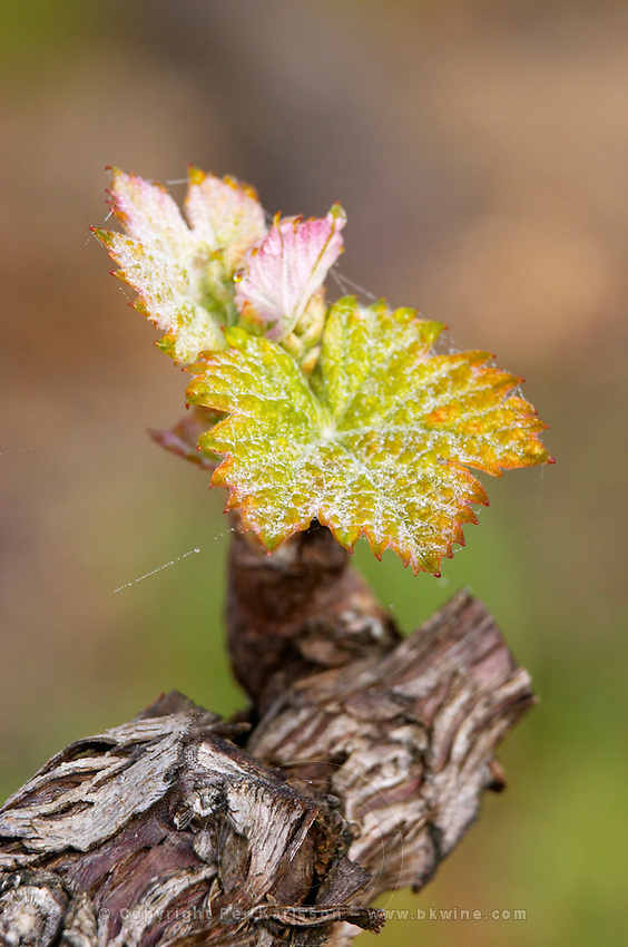 bud burst on the vine ch gd barrail lamarzelle figeac saint emilion bordeaux france