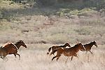 Hundreds of wild horses galloping through the plains of the island of Ua Huka<br /> <br /> Des centaines de chevaux sauvages galopent dans les steppes de l'ile de Ua Huka