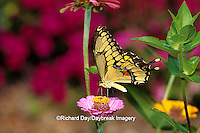 03017-00512 Giant Swallowtail (Papilio cresphontes) on Zinnia sp.,  Marion Co. IL