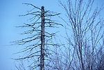 Dead stub of Eastern White pine tree,  Pinus strobus<br />