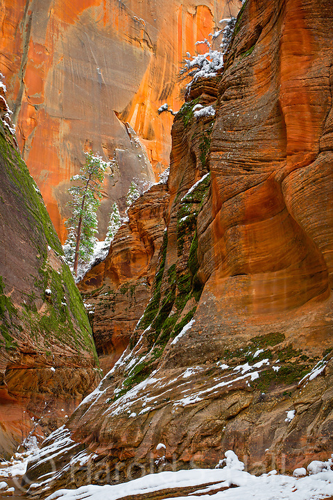 This is a winter scene in Zion National Park Utah on the way to Observation Point, the highest point in the park.