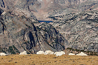 Mountain Goat herd resting on the Beartooth Plateau with Glacier Lake in background.  Wyoming/Montana border area.  Late Sept.