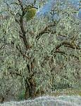 Winter, Valley Oak, Quercus lobata, Acorn Ranch, Yorkville Highlands, Mendocino County, California
