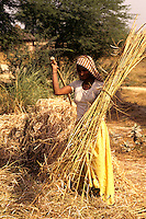 Farmer cutting straw and wheat in fields near Agra India