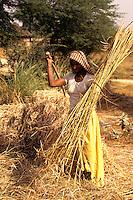 Farmer cutting straw and wheat in fields near Agra India