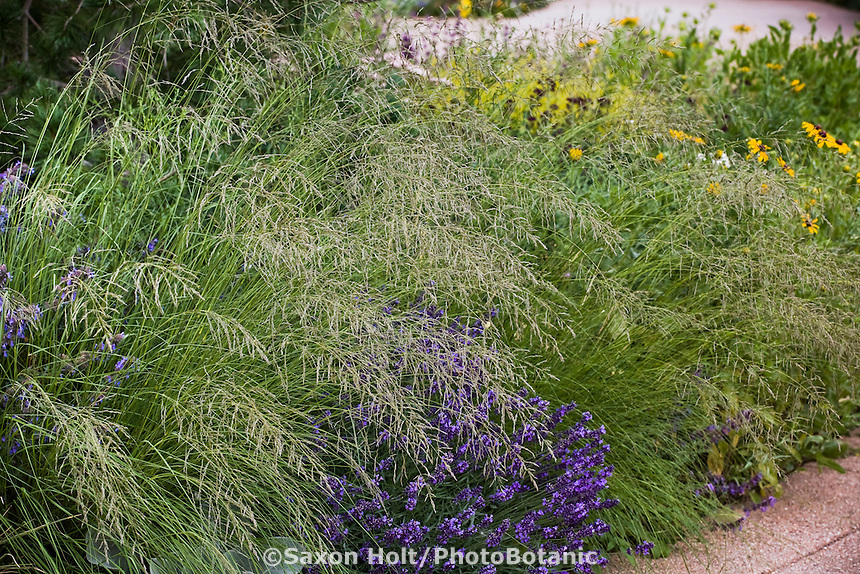 Eragrostis curvula (weeping lovegrass) native grass flowering by path with Lavender 'Hidcote'  in Colorado meadow garden design by Tom Peace