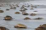 The arrival of Olive Ridley Sea Turtles (Lepidochelys olivacea) at the beach of Ostional, Costa Rica, Pacific Ocean, for the beginning of an arribada or mass nesting event when thousands of the 50 kilogram reptiles come ashore over a period of up to a week, only interrupted by the hottest midday sun, to bury their eggs in the warm sand.