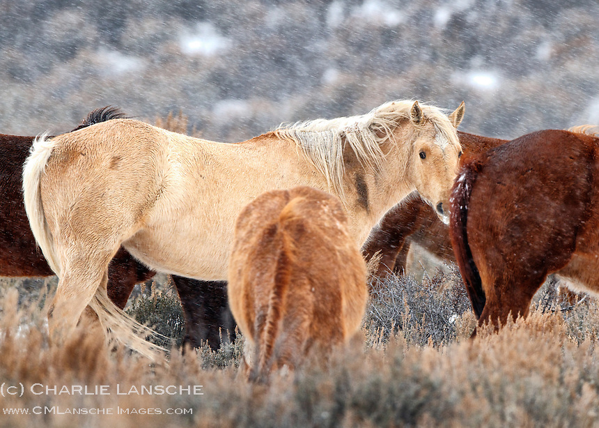March arrived with strong wind and snow leaving these range horses a little perturbed. March 1, 2014.