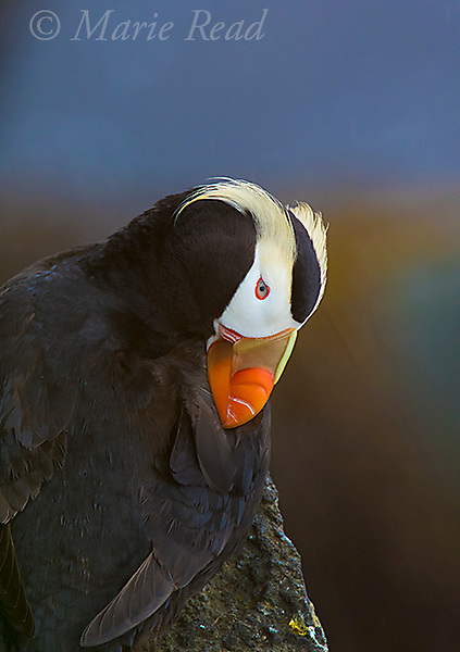 Tufted Puffin (Fratercula cirrhata), preening its wing, closeup, St. Paul Island, Pribilofs, Alaska, USA