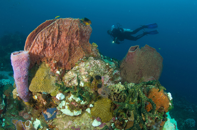 A diver looks on at various sponges, including the giant barrel sponge (Xestospongia muta)