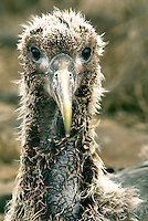 The inquisitive stare of a young waved albatross on the island of Española. Española is the southerm most island of the Galápagos and home to the entire world population of waved albatross. .