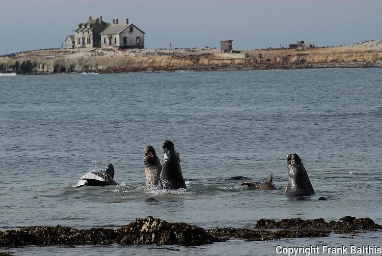elephant seals and Ano Nuevo Island