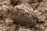 Earthworm exposed during ploughing - Lincolnshire, February