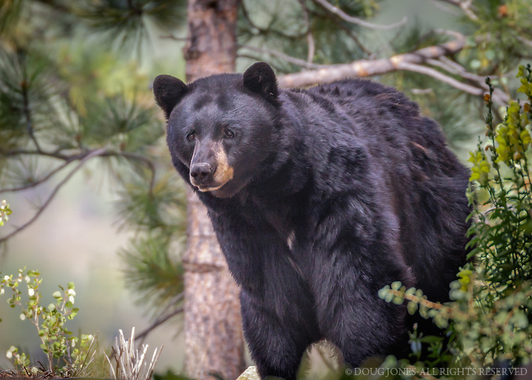 This mom and her two cubs have become frequent visitors to our neighborhood in the Tahoe-Truckee area of the Sierra Nevada.