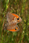 Meadow Brown Butterfly, Maniola jurtina, pair mating, showing eye spots, Provence, orange.France....