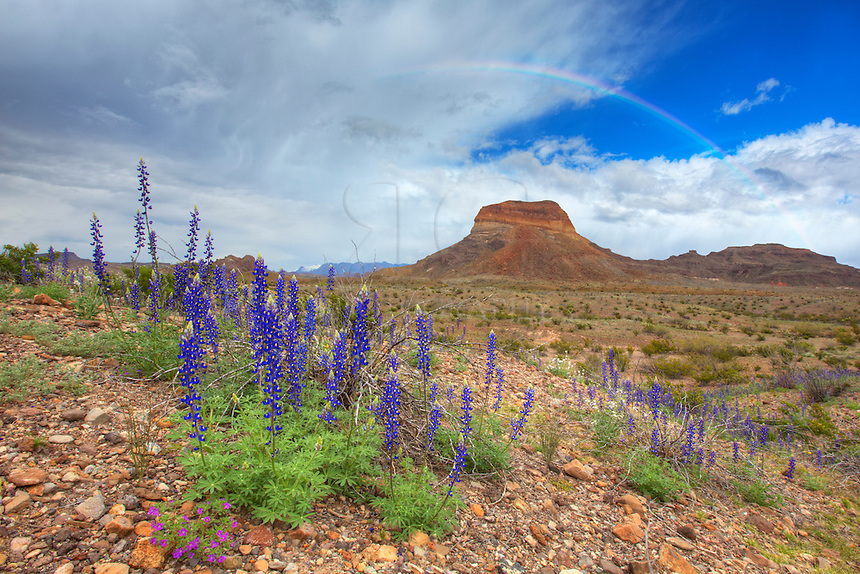 This rare moment at Big Bend National Park features bluebonnets and a rainbow. Storms had been brewing all day in the higher elevations, but when the clouds began to break, I was down on the western slope of the Chisos Mountains and was rewarded with some beautiful opportunites.<br />