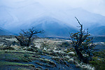 Southern Beech (Nothofagus sp) trees, Torres del Paine National Park, Patagonia, Chile