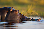 Hippopotamus (Hippopotamus amphibius) in water, mother with calf, Okavango Delta, Moremi Game Reserve, Botswana