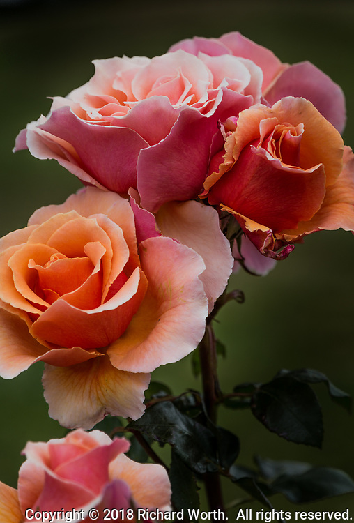 A rose with multiple flowers whose petals change from pink on the outer layers to orange inside.