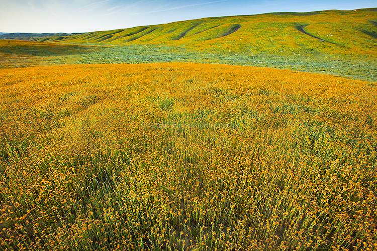 Fiddleneck carpet the Elkhorn Plain and Temblor Range foothills in the Carrizo Plain; roughly 50 miles (80 km) long and up to 15 miles (24 km) across. Contains the 250,000 acre (1,012 km²; 101,215 ha) Carrizo Plain National Monument (Est. 1/17/2001), largest single native grassland (San Joaquin Valley biogeographic province) remaining in California. San Luis Obispo County, CA.
