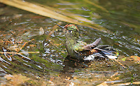 Female rainbow-bearded thornbill, Chalcostigma herrani, bathing in a shallow stream at Yanacocha Reserve, Ecuador