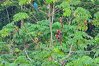 scarlet macaw, Ara macao, and blue-and-yellow macaw, Ara ararauna, Tambopata National Reserve, Madre de Dios Region, Tambopata Province, Peru, Amazonia