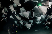 TW3214-D. Scuba divers and Smoothtail Mobula Rays (Mobula munkiana), an aggregation of hundreds of the 2 to 3 foot wide rays are feeding on plankton at night. Also called Munk&Otilde;s devil ray and Pygmy Devil Ray. Baja, Mexico, Sea of Cortez, Pacific Ocean.<br /> Photo Copyright &copy; Brandon Cole. All rights reserved worldwide.  www.brandoncole.com
