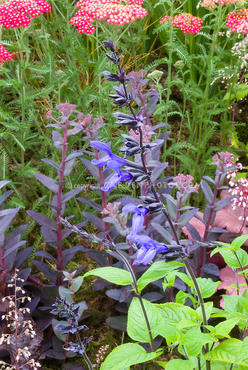 Salvia guaranitica 'Black and Blue' with Achillea, Heuchera, Sedum, garden use