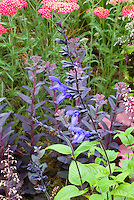 Salvia guaranitica 'Black and Blue' with Achillea, Heuchera, Sedum, garden use