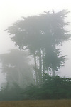 Monterey Cypress trees (Cupressus macrocarpa) in morning fog on the Cambria coast, San Luis Obispo County, California