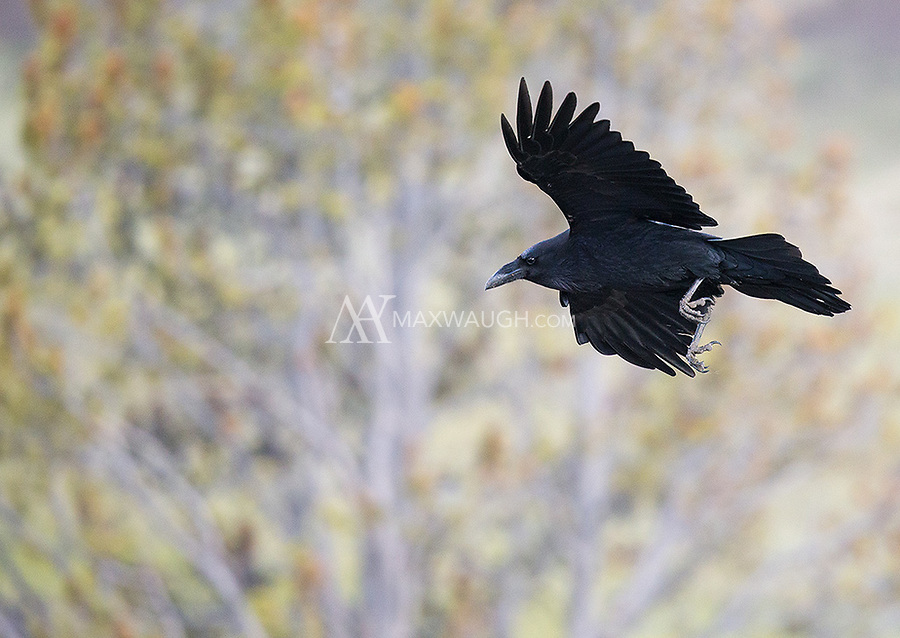 A raven soars over Hayden Valley.
