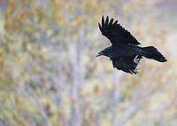 A raven soars over Hayden Valley.