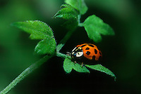 347900001 a wild nine-spotted ladybug coccinella novemnotatus