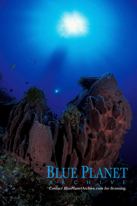 barrel sponge, Xestospongia testudinaria, Papua New Guinea, Pacific Ocean