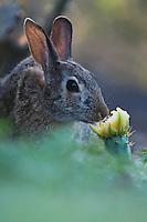 Eastern Cottontail (Sylvilagus floridanus), adult eating Texas Prickly Pear Cactus (Opuntia lindheimeri) blossom, Starr County, Rio Grande Valley, Texas, USA