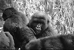 mountain gorilla family in Rwanda