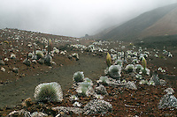 A field of young silversword plants along the sliding sands trail on cloud shrouded day in HALEAKALA NATIONAL PARK on Maui in Hawaii
