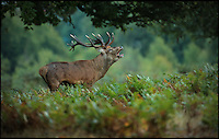 BNPS.co.uk (01202 558833)<br /> Pic: JonHawkins/BNPS<br /> <br /> Red deer stag looking for doe.<br /> <br /> Photographer Jon Hawkins has reaped the benefits of many early morning starts this autumn with a stunning set of pictures from Bushy Park near Hampton Court of the magnificent Red Deer.